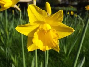 A Welsh Daffodil