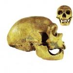 Neanderthal Skull (1)